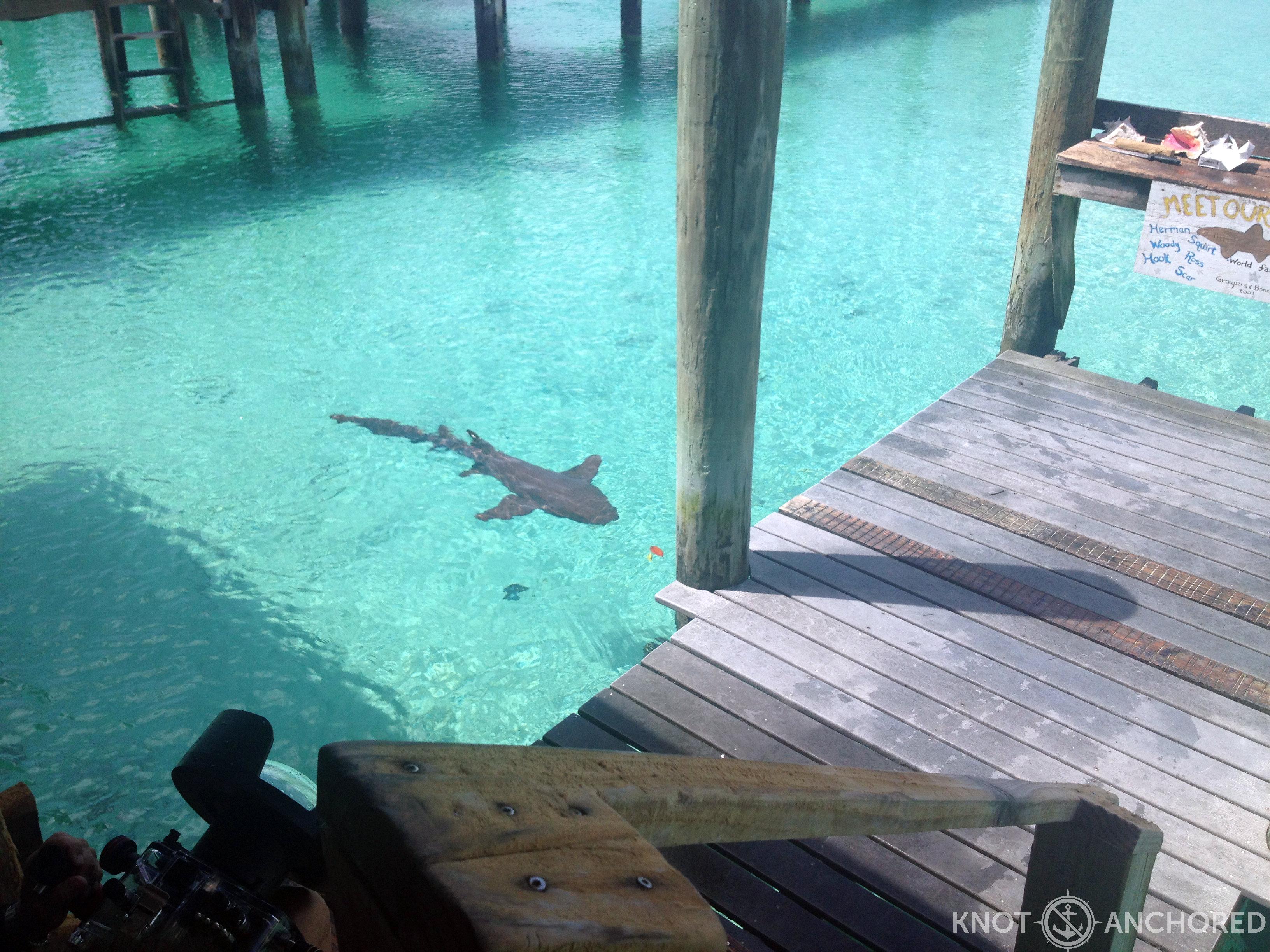 Pet sharks eh who knew compass cay bahamas knot anchored for Shark fish pet