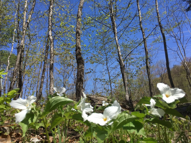 trillium flower, landscape, nature
